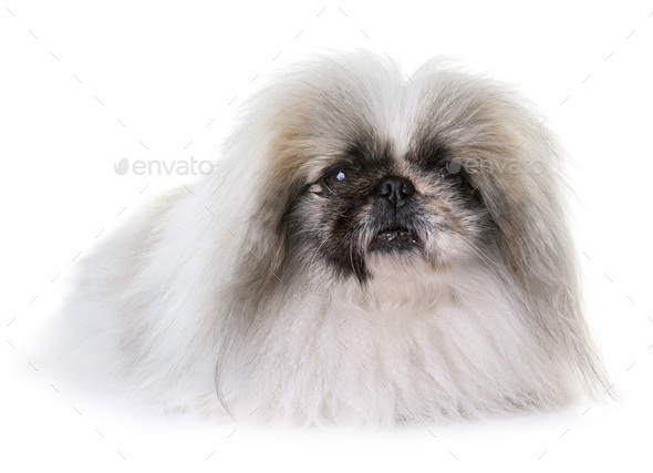 Pekingese dog in studio - Stock Photo - Images