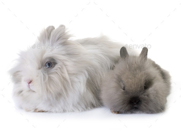 dwarf rabbits in studio - Stock Photo - Images