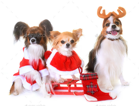 little dogs and christmas - Stock Photo - Images