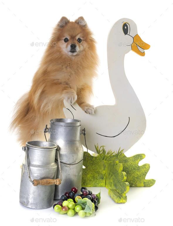 pomeranian spitz in the farm - Stock Photo - Images