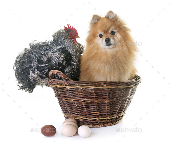 pomeranian spitz and chicken - Stock Photo - Images