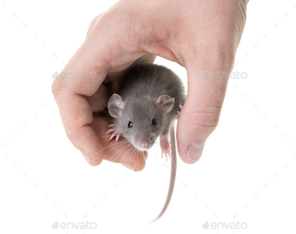 young rat in studio - Stock Photo - Images