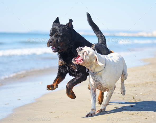 fighting dogs on the beach - Stock Photo - Images
