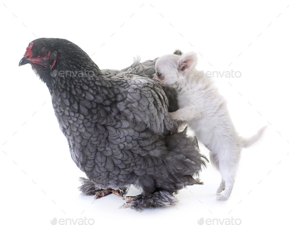 brahma chicken and puppy chihuahua - Stock Photo - Images