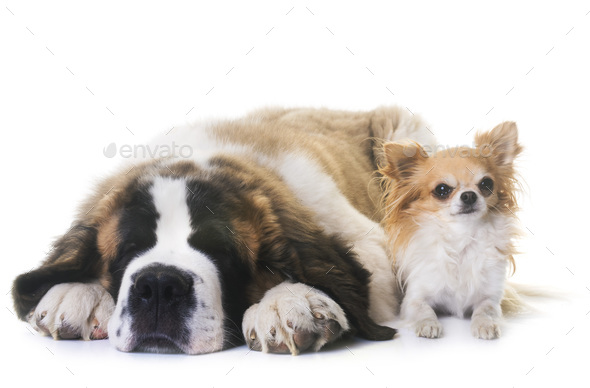 puppy saint bernard and chihuahua - Stock Photo - Images
