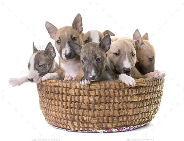 group of miniature bull terrier - Stock Photo - Images