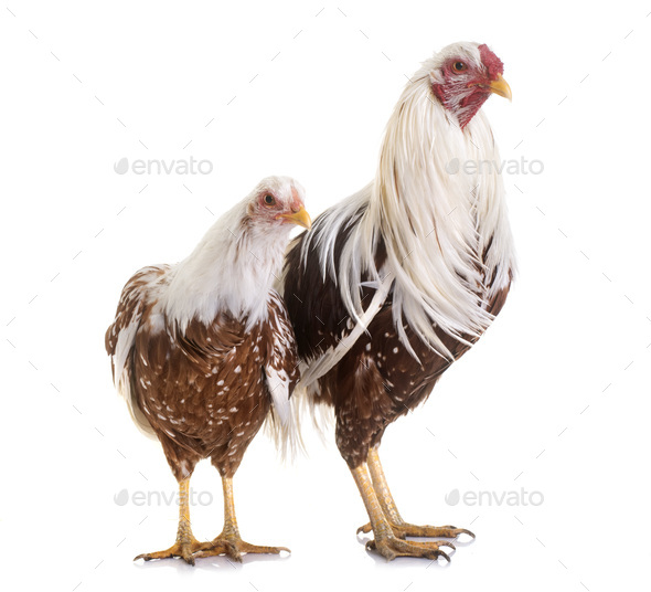 Yokohama chicken in studio - Stock Photo - Images