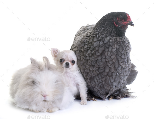 brahma chicken, bunny and puppy chihuahua - Stock Photo - Images