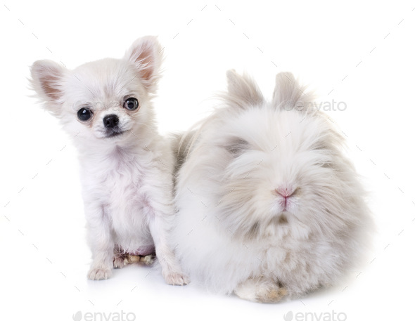 dwarf rabbit and puppy chihuahua - Stock Photo - Images