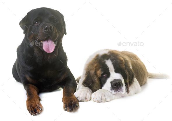 puppy saint bernard and rottweiler - Stock Photo - Images