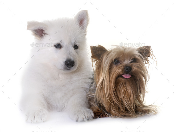 puppy White Swiss Shepherd Dog and yorkshire terrier - Stock Photo - Images
