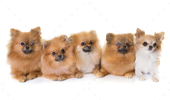 pomeranian spitz and chihuahua - Stock Photo - Images