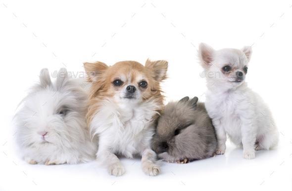 dwarf rabbits and chihuahuas - Stock Photo - Images