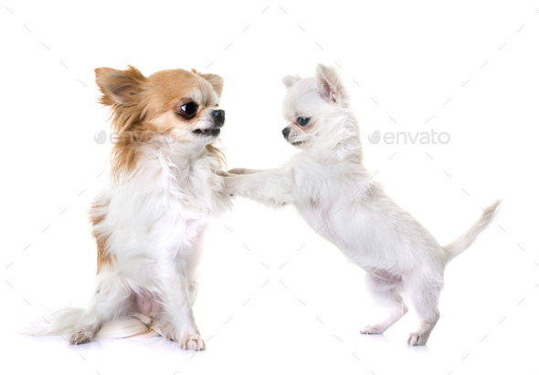 puppy and adult chihuahua - Stock Photo - Images