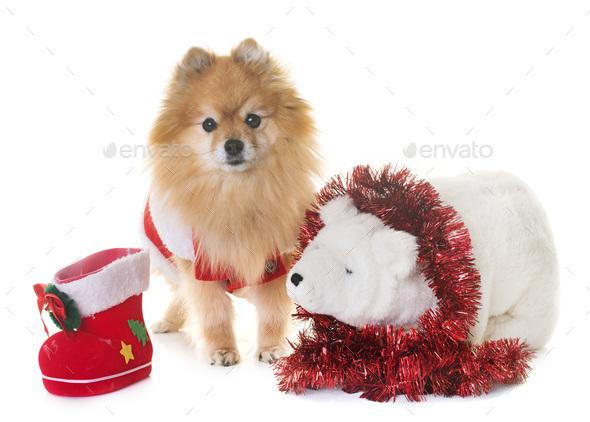 pomeranian spitz and christmas - Stock Photo - Images