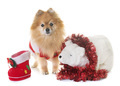 pomeranian spitz and christmas - PhotoDune Item for Sale