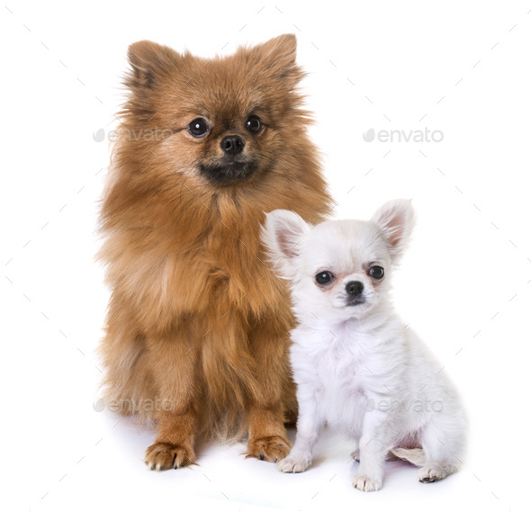 puppy chihuahua and pomeranian - Stock Photo - Images