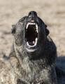 aggressive holland shepherd - PhotoDune Item for Sale