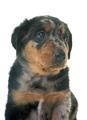 puppy beauceron in studio - PhotoDune Item for Sale