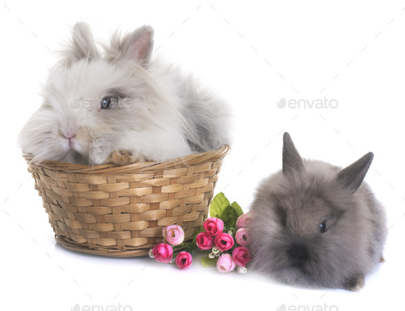 dwarf rabbit in studio - Stock Photo - Images