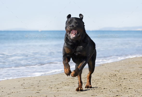 rottweiler on the beach - Stock Photo - Images