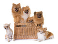 pomeranian spitz and chihuahua - PhotoDune Item for Sale