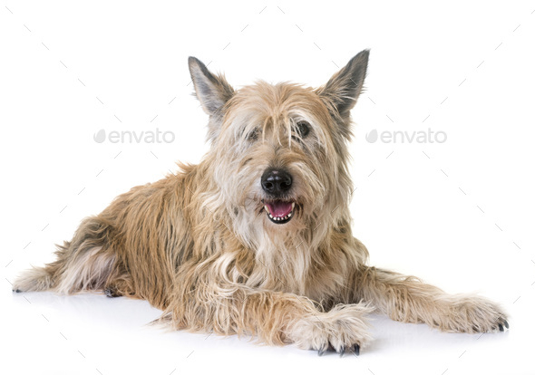 picardy shepherd in studio - Stock Photo - Images