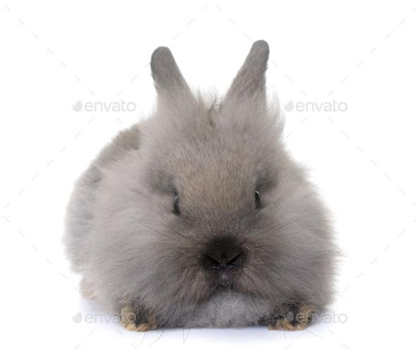 dwarf rabbit in studio - Stock Photo - Images