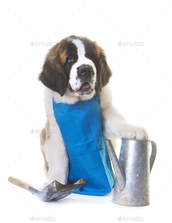 puppy saint bernard gardener - Stock Photo - Images