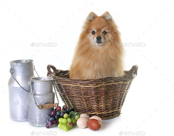 pomeranian spitz in the farm - Stock Photo - Images