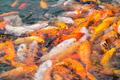 koi fish in pond - PhotoDune Item for Sale