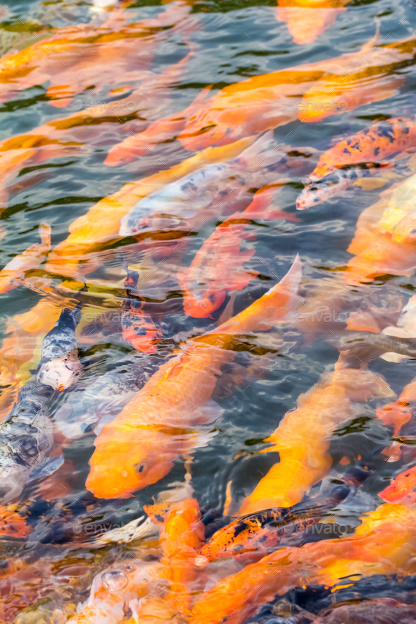 koi fish swimming in pond - Stock Photo - Images