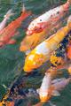 beautiful koi fish - PhotoDune Item for Sale