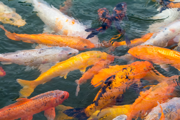 colorful koi fish - Stock Photo - Images