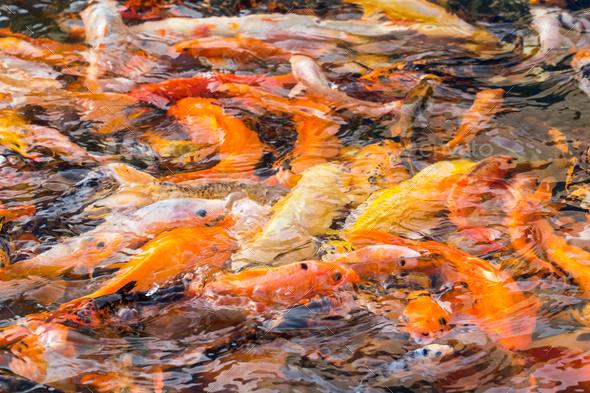 colorful koi fish - Stock Photo - Images