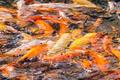colorful koi fish - PhotoDune Item for Sale