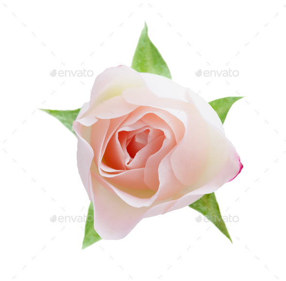 White opened rose bud isolated on white top view - Stock Photo - Images
