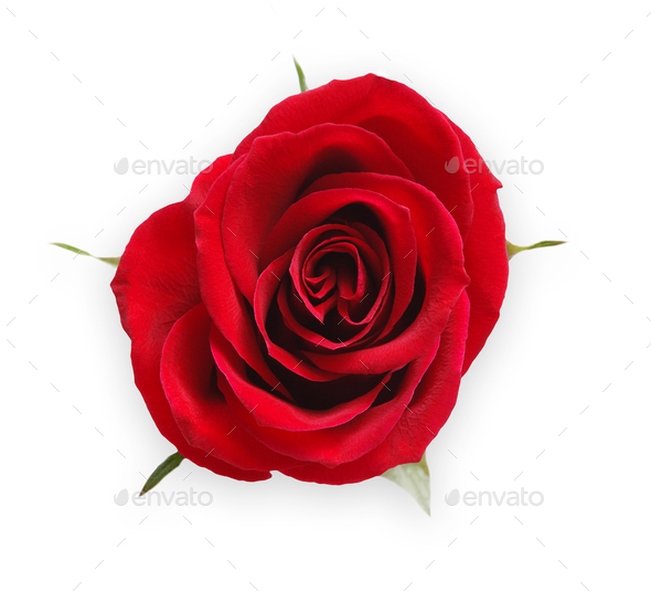 Red opened rose bud isolated on white top view - Stock Photo - Images