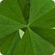 Clover Leaves St Patricks Day Green Background - VideoHive Item for Sale