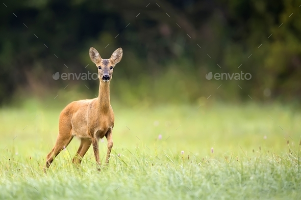 Roe deer in a clearing  - Stock Photo - Images
