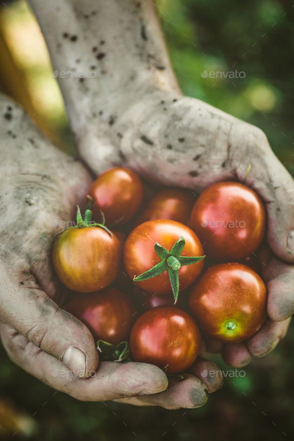 Harvest hands - Stock Photo - Images