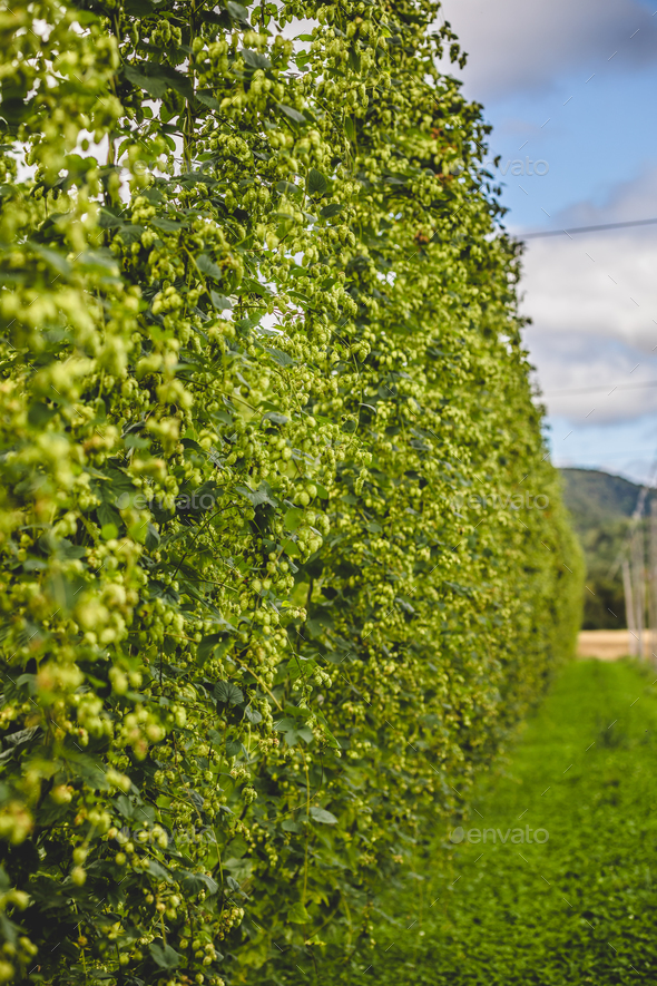Tied hop plants on field - Stock Photo - Images