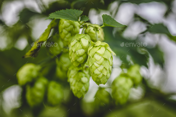 Cascade hop growing - Stock Photo - Images