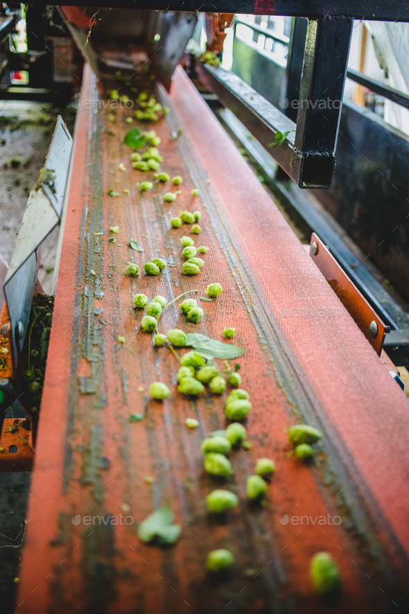 Conveyor with hop - Stock Photo - Images