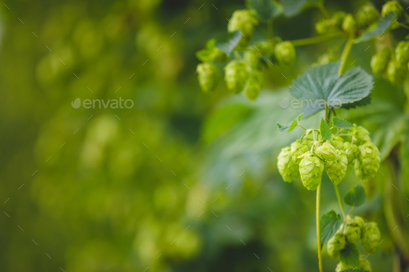 Close-up green hop plant branch with ripe cones. - Stock Photo - Images