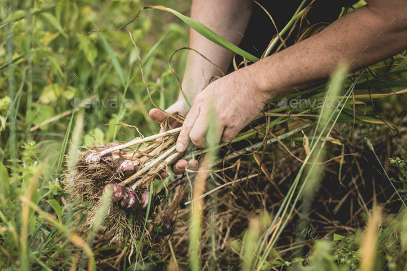 Handful of Freshly Picked Garlic in the Field - Stock Photo - Images