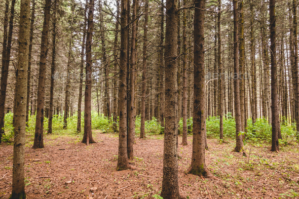 Heat Wave and waterless Period in evergreen forest. - Stock Photo - Images
