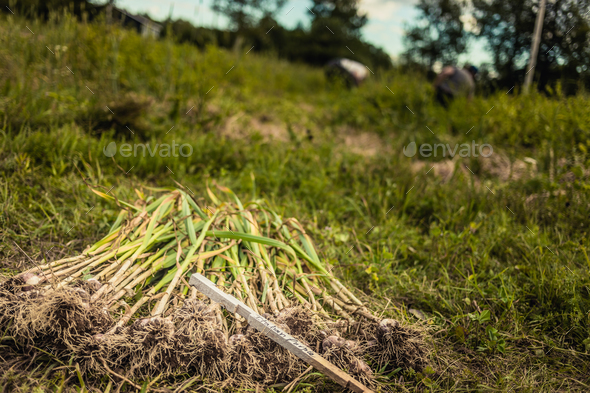 Stack of Freshly Picked Italian Purple Garlic - Stock Photo - Images