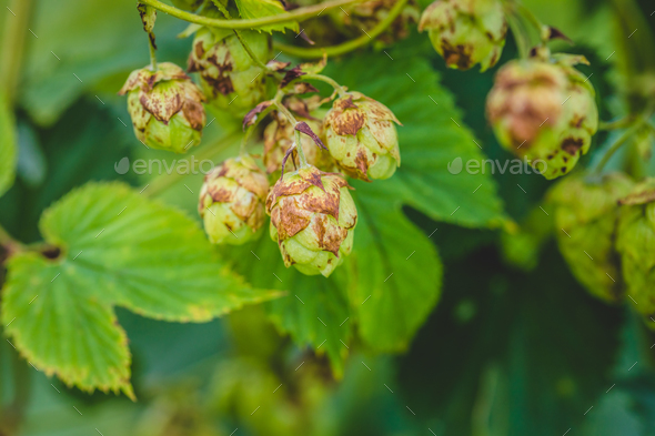 Nugget hop growing - Stock Photo - Images