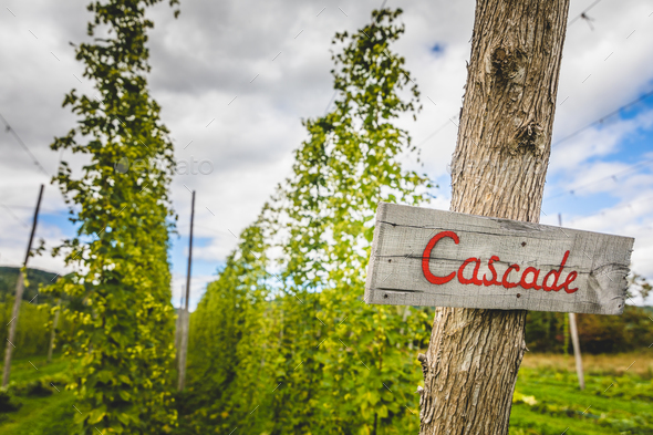 Cascade hop field - Stock Photo - Images